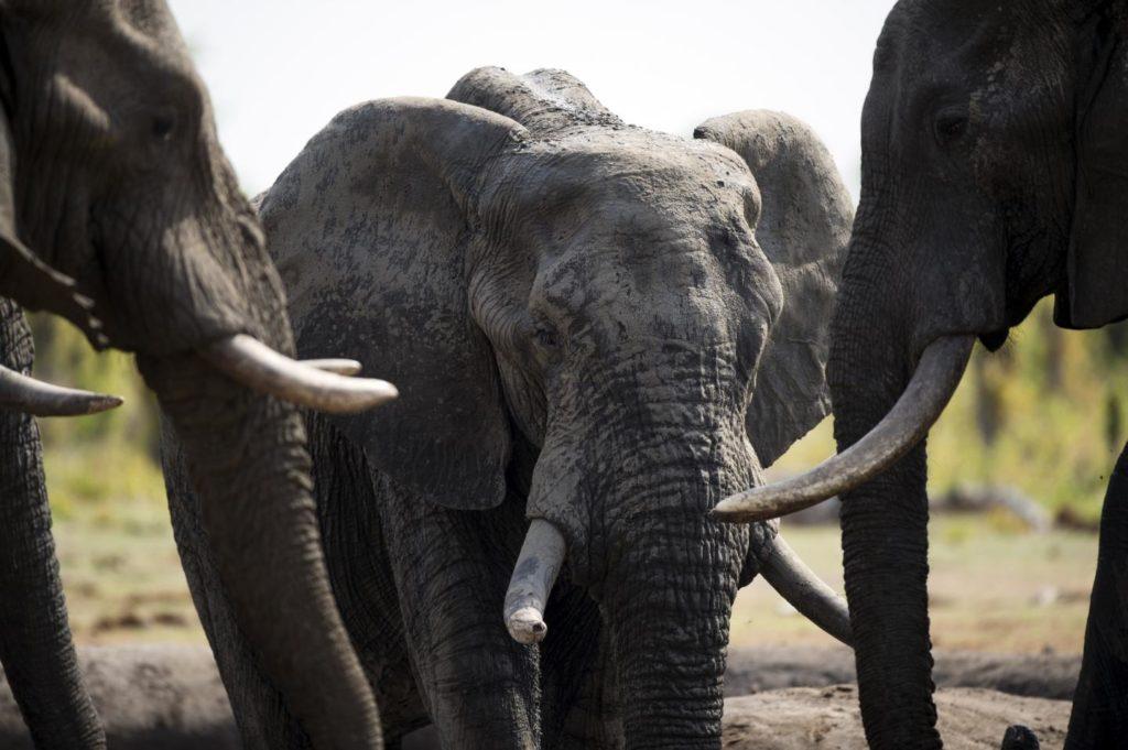Conservation Elephant Tusk Imports